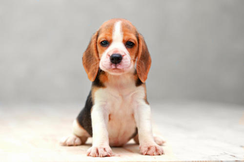 Beagle-backgrounf-change